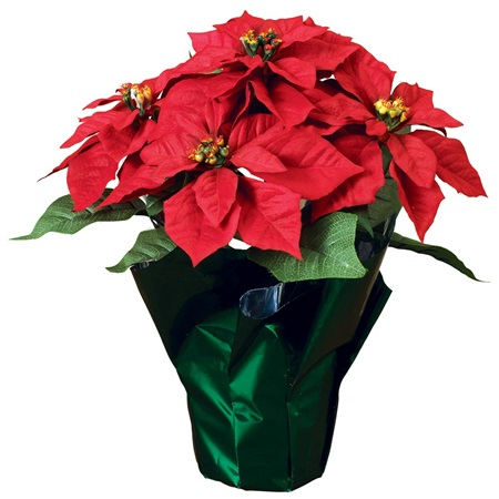 Poinsettias Will Beautify Your Christmas Order Today Cold Spring